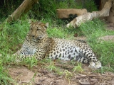 Teneriffa Jungle Park jaguar
