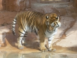 jungle park teneriffa tiger