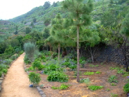 Teneriffa Drago Icod Vegetation